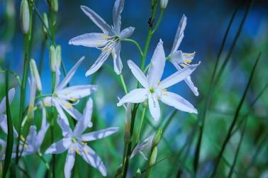 grass-lily-4277499_640