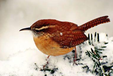 snow wren